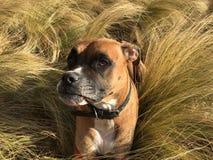 跑在草的狗 库存照片
