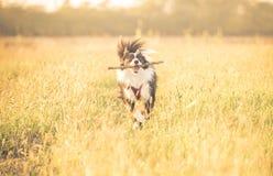 跑在草的美丽的博德牧羊犬 图库摄影