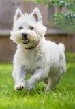 跑在草的逗人喜爱的西部高地白色狗 图库摄影