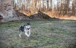 跑在草的阿拉斯加的爱斯基摩狗 图库摄影