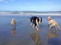 跑在获得附近的湿狗在海滩的乐趣 免版税库存图片