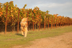 跑在葡萄园里的金毛猎犬 免版税库存照片