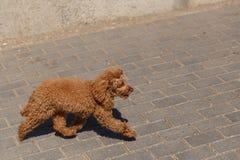 跑在街道的姜长卷毛狗在天期间 库存图片