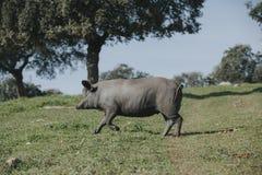 跑在西班牙绿色草甸的利比亚猪 库存照片