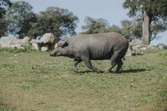 跑在西班牙绿色草甸的利比亚猪 免版税库存图片