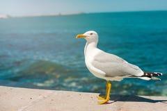 跑在走由海滩的观点的岸关闭的海鸥的白色鸟海鸥反对自然大海 免版税库存图片