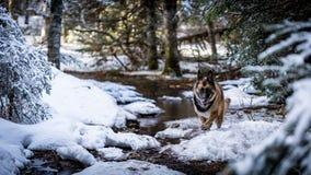 跑在足迹下的德国牧羊犬狗 免版税库存照片