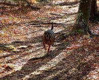 跑在足迹的狗 免版税库存照片