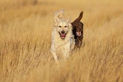 跑在金黄小时的狗 免版税库存照片