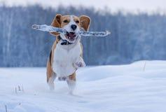 跑在附近和使用用在雪的一根棍子的小猎犬狗 免版税库存图片