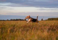跑在附近和使用用棍子的小猎犬狗在日落 库存图片