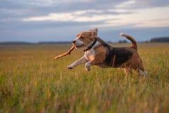 跑在附近和使用用棍子的小猎犬狗在日落 免版税库存照片