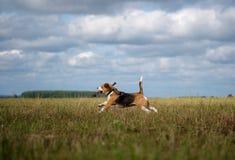 跑在附近和使用用棍子的小猎犬狗 免版税库存照片