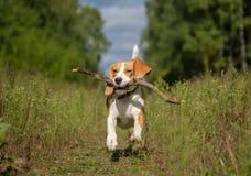 跑在附近和使用用棍子的小猎犬狗 免版税库存图片