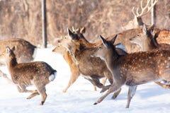 跑在雪一头幼小Sika鹿 免版税库存照片
