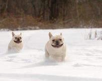 跑在雪的两条狗 库存图片