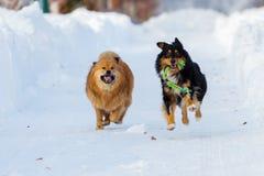 跑在雪的两条狗 免版税图库摄影