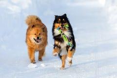 跑在雪的两条狗 免版税库存照片