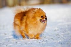 跑在雪的愉快的pomeranian波美丝毛狗狗 免版税库存照片