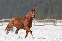 跑在雪的红色马。 免版税库存照片