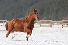 跑在雪的红色马。 免版税库存图片