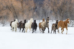 跑在雪的马 库存照片