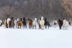 跑在雪的马 库存图片