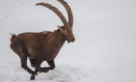 跑在雪的高地山羊 免版税图库摄影