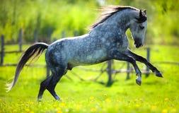 跑在领域的灰色马在春天。 库存图片