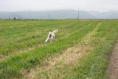 跑在领域的金毛猎犬狗 库存图片