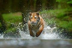 跑在水中的老虎 危险动物, tajga在俄罗斯 在森林小河的动物 灰色石头,河小滴 与简单程序设计语言的老虎 免版税库存照片