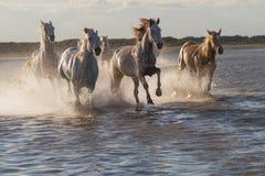 跑在水中的马 免版税库存照片