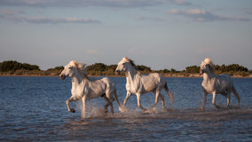 跑在水中的马 免版税图库摄影