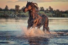 跑在水中的黑马在日落 免版税库存照片