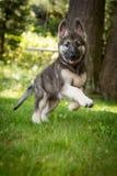 跑在围场的希洛牧羊人德国牧羊犬 免版税库存照片