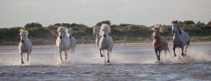 跑在水域中的马 免版税库存图片