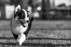 跑在黑白的公园的逗人喜爱的得克萨斯Heeler小狗 免版税图库摄影