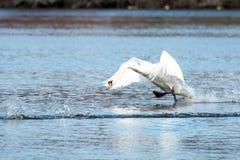 跑在水的天鹅在飞行中离开 库存图片