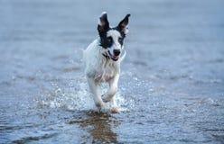 跑在水的看家狗小狗 库存照片