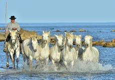 跑在水的车手和Camargue白马 免版税库存图片