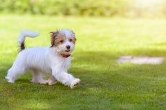 跑在绿色夏天草的一只逗人喜爱,愉快的小狗 库存图片
