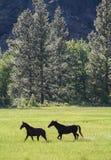 跑在绿色草甸的黑马 免版税库存照片