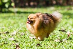 跑在绿草的Pomeranian狗在庭院里 免版税库存照片