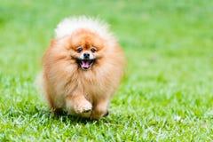 跑在绿草的Pomeranian狗在庭院里 免版税图库摄影