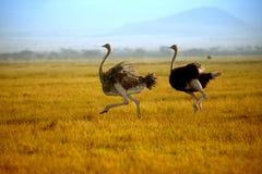 跑在Amboseli平原的两只驼鸟  免版税库存照片