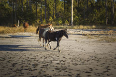 跑在Assateague海岛上的野生小马 免版税库存照片