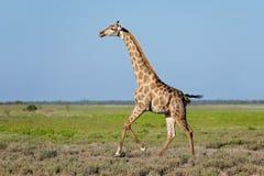 跑在Etosha平原的长颈鹿 免版税库存照片