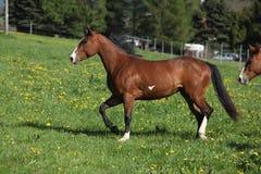 跑在pasturage的华美的油漆马母马 免版税库存照片
