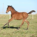 跑在pasturage的完善的阿拉伯马驹 库存照片