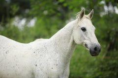 跑在pasturage的英国纯种马 免版税库存照片